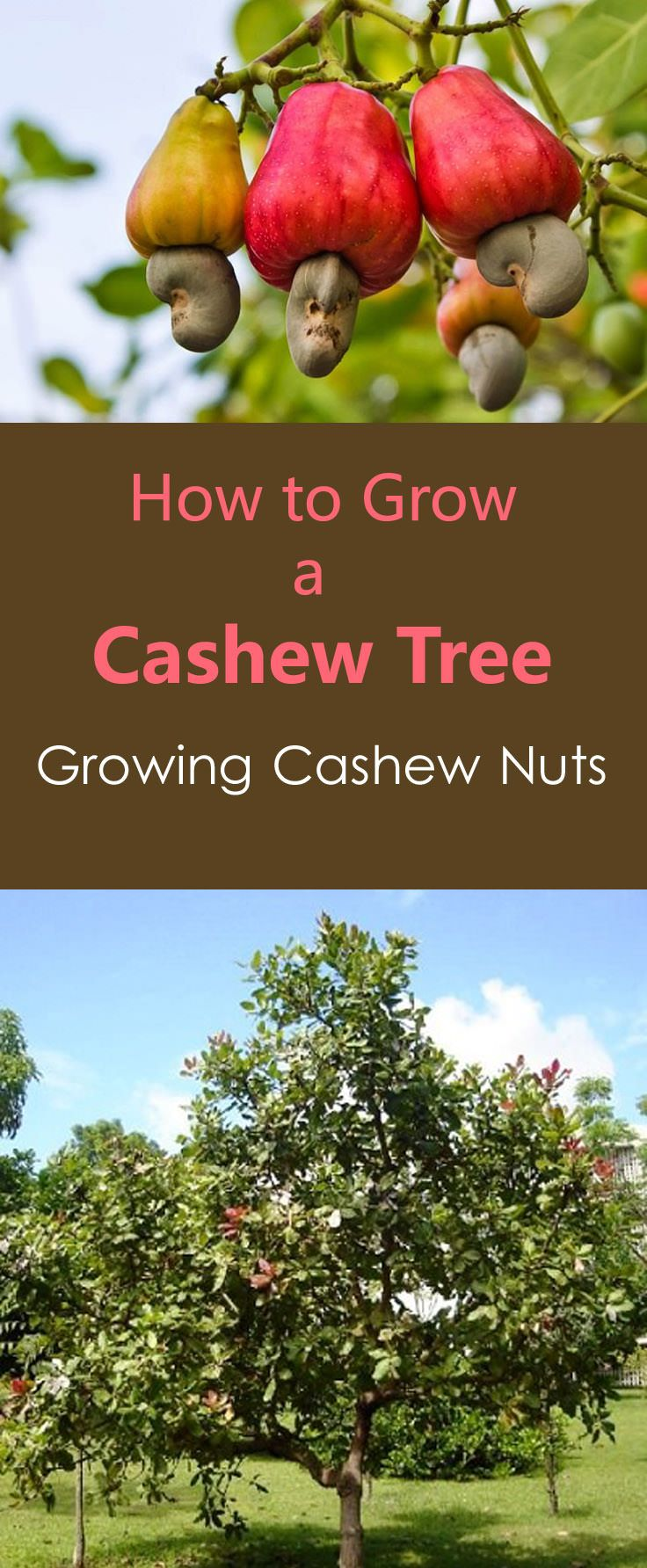 How to Grow a Cashew Nut Tree Cashew tree, Gardens and
