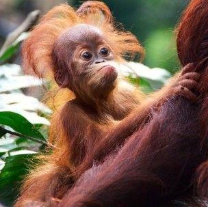 Funny Baby Orangutan Pictures