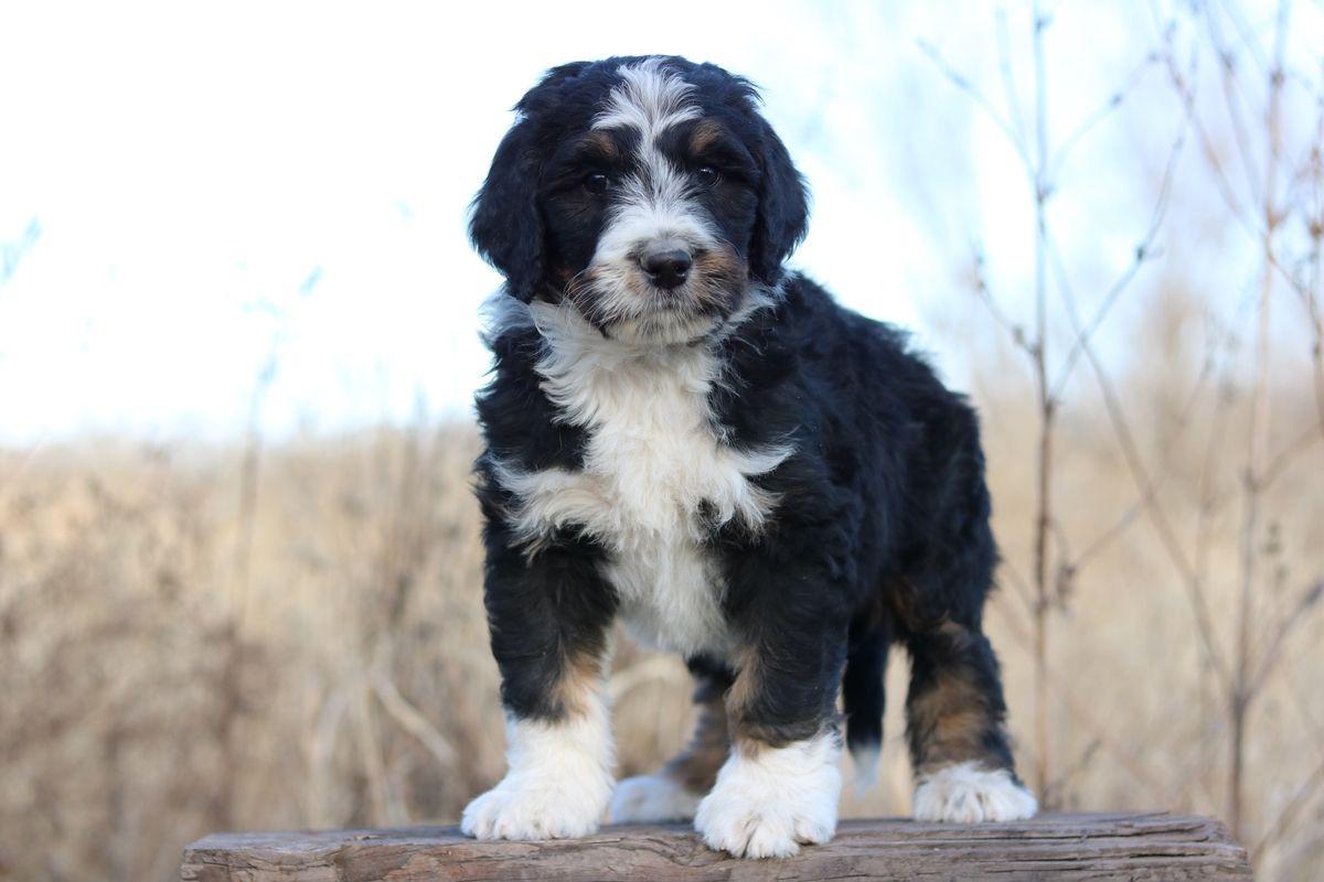 Standard Bernedoodle Breeder Standard Bernedoodle Puppies For Sale Bernedoodle Bernedoodle Puppy Puppies For Sale