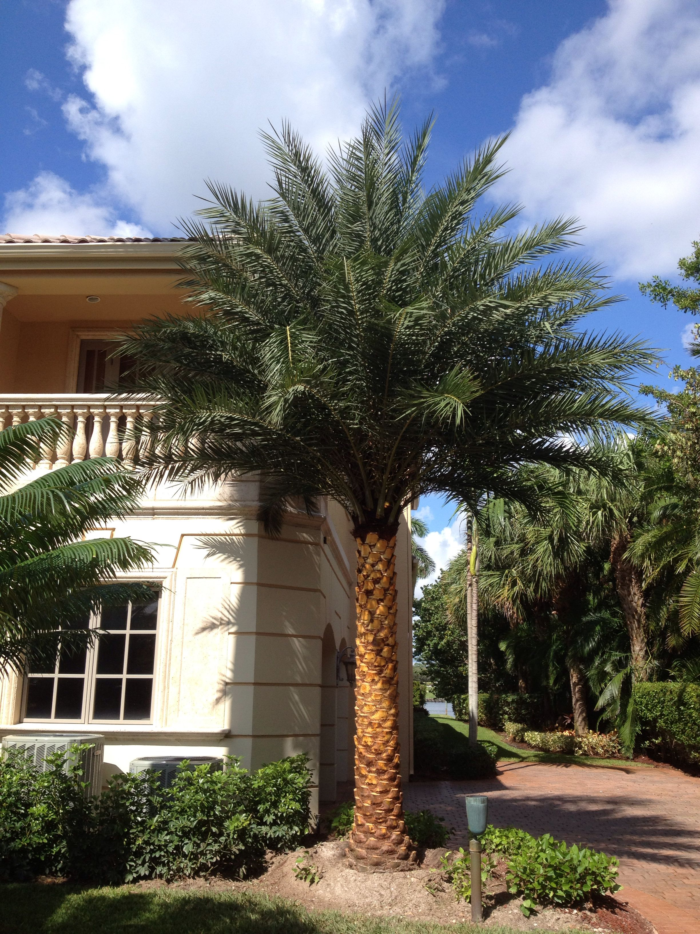 Sylvester Date Palm Install Complete My Landscape