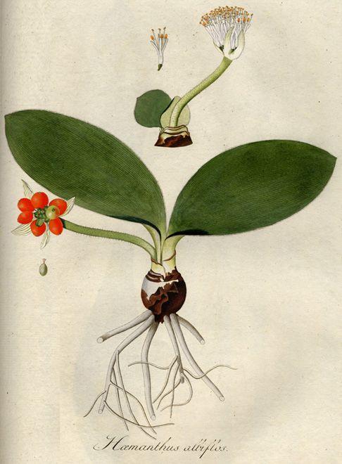 Haemanthus albiflos03 - Haemanthus albiflos - Wikipedia, la enciclopedia libre