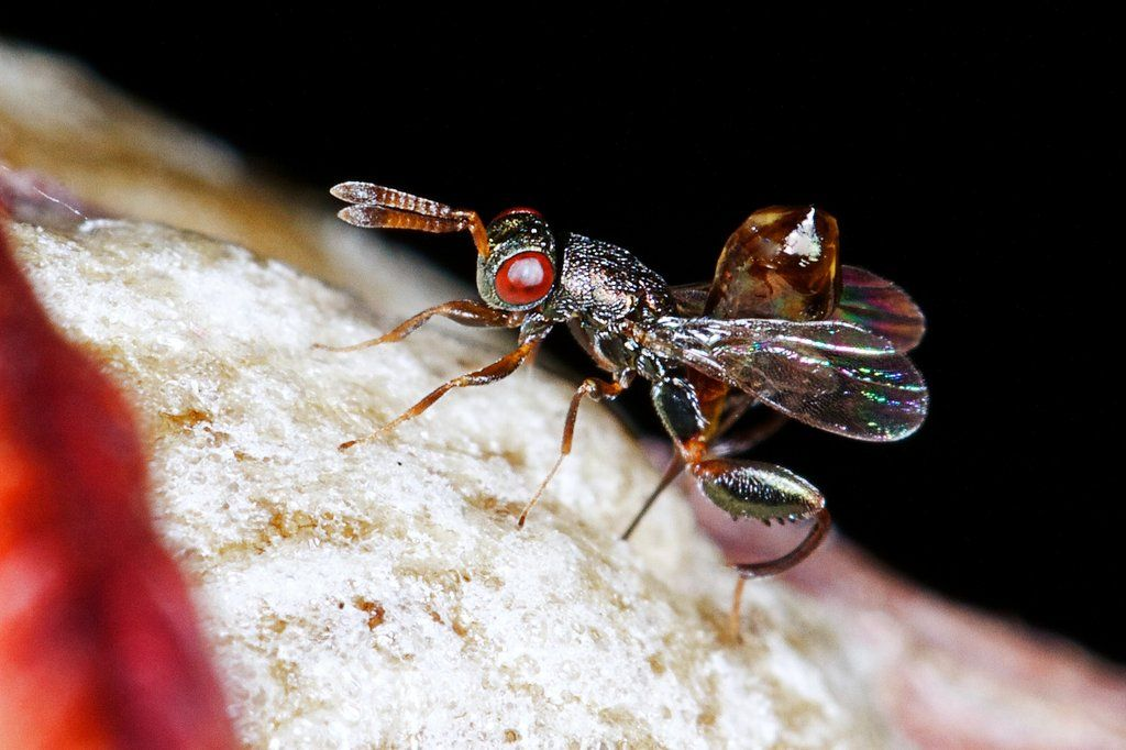 A female Mantis Parasitic Wasp injects eggs into the egg