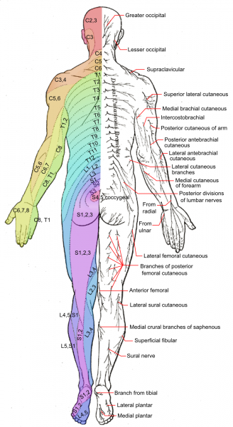 Nerve pain referred area and effects dermatome chart zeros