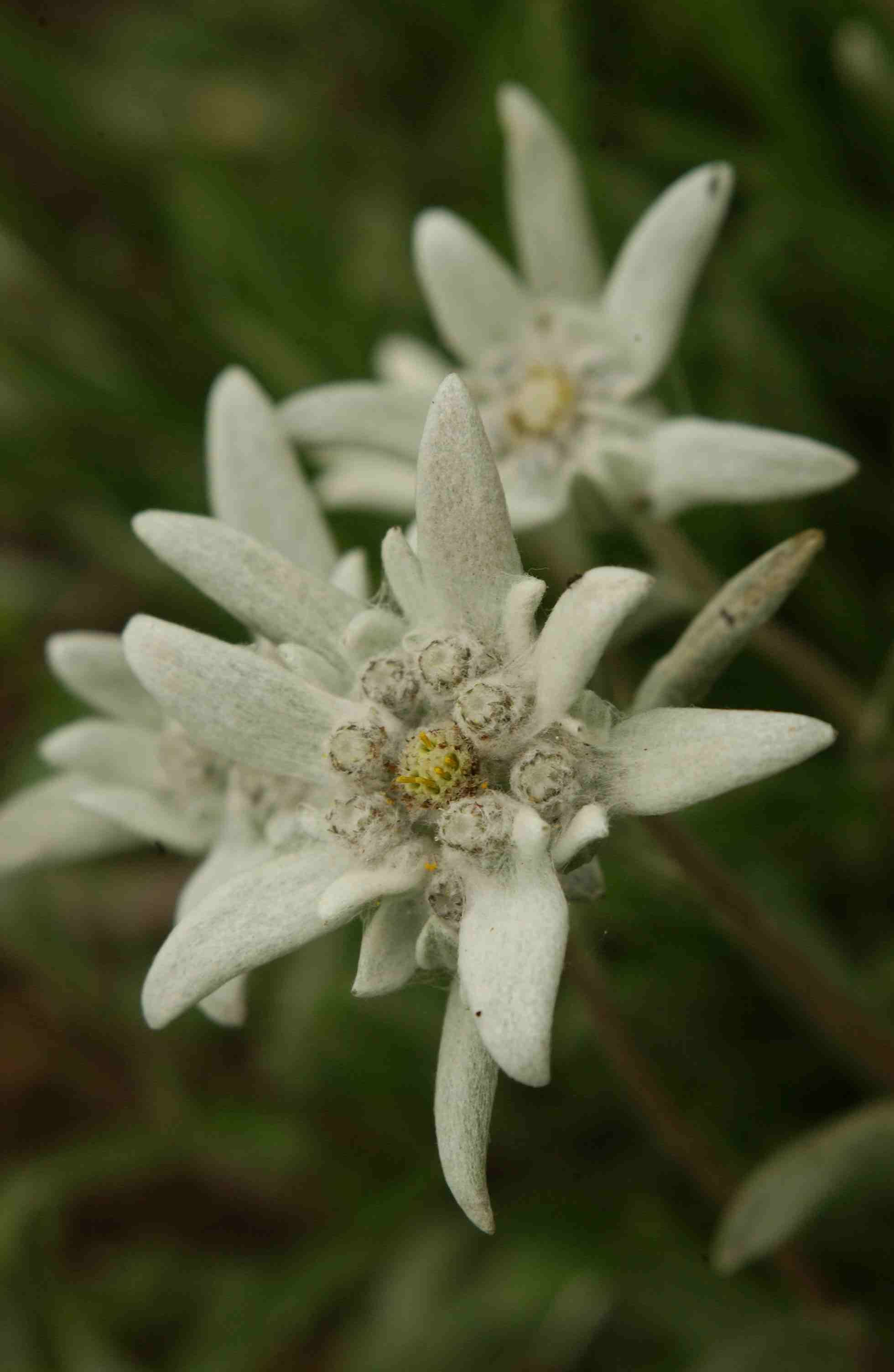 Edelweiss Leontopodium alpinum [Family Asteraceae