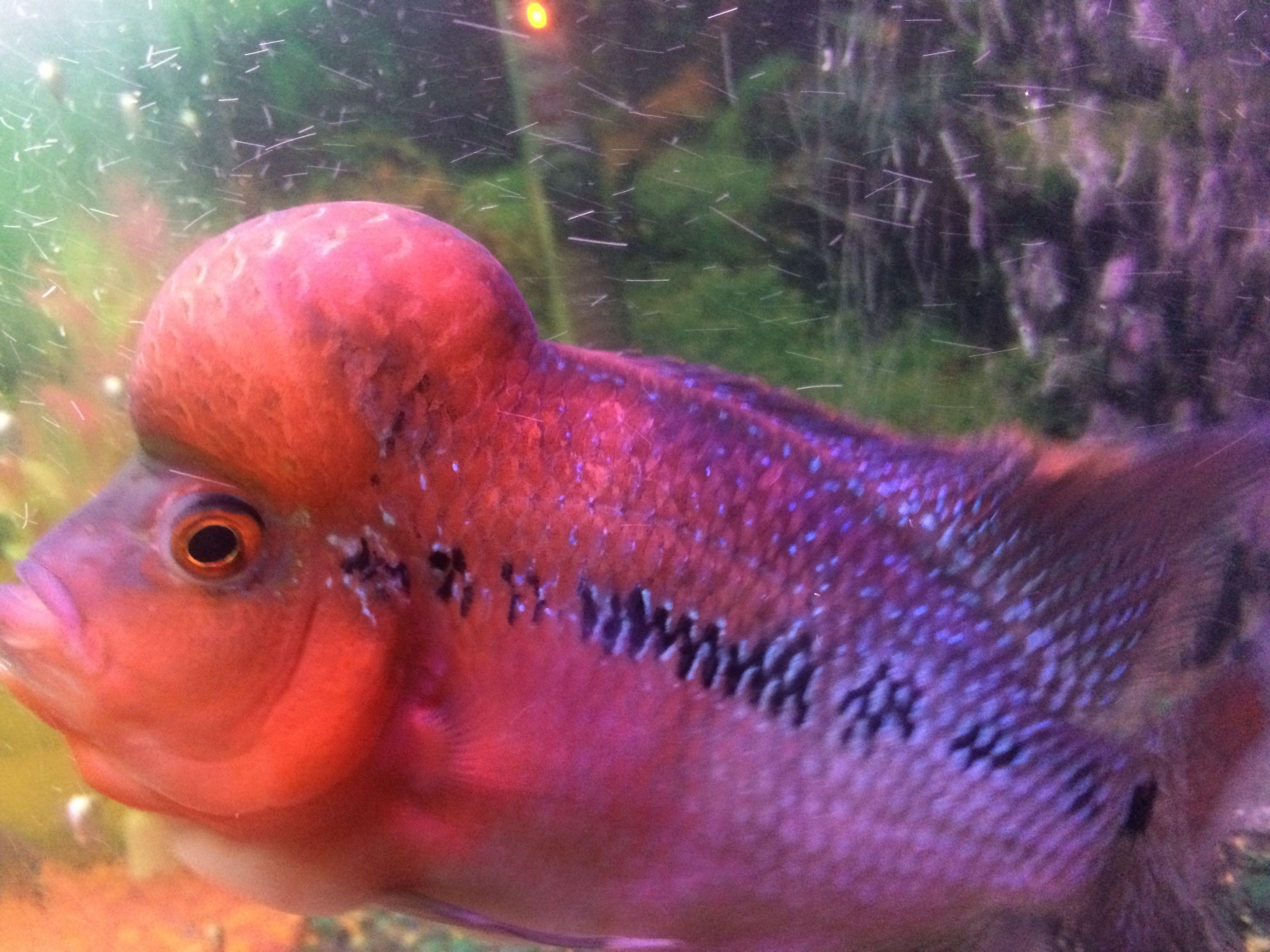 Flowerhorn Fish | Freshwater Aquarium & Fishes | Pinterest ...