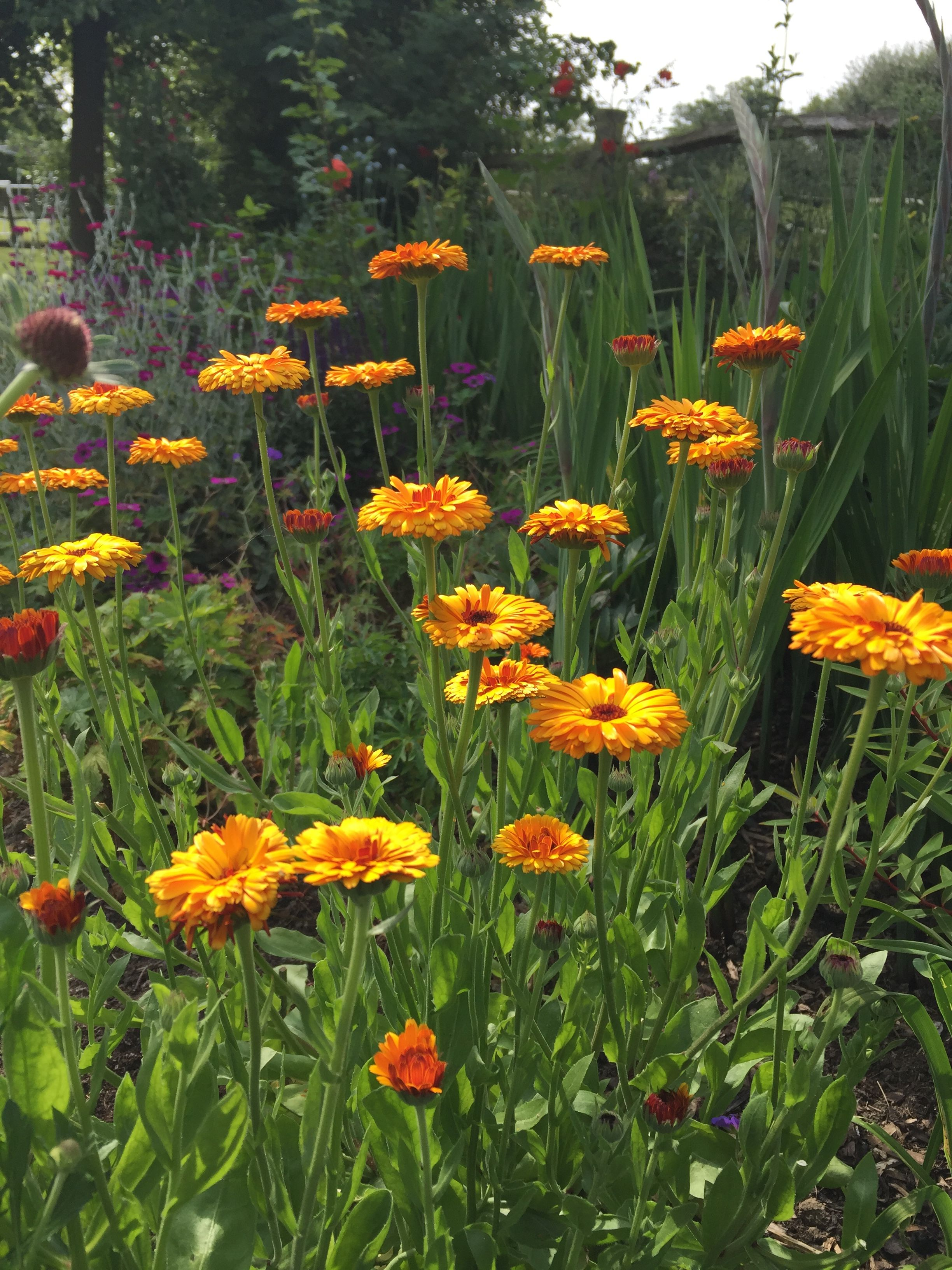 Calendula 'Indian Prince'. Nature, Plants, Flowers