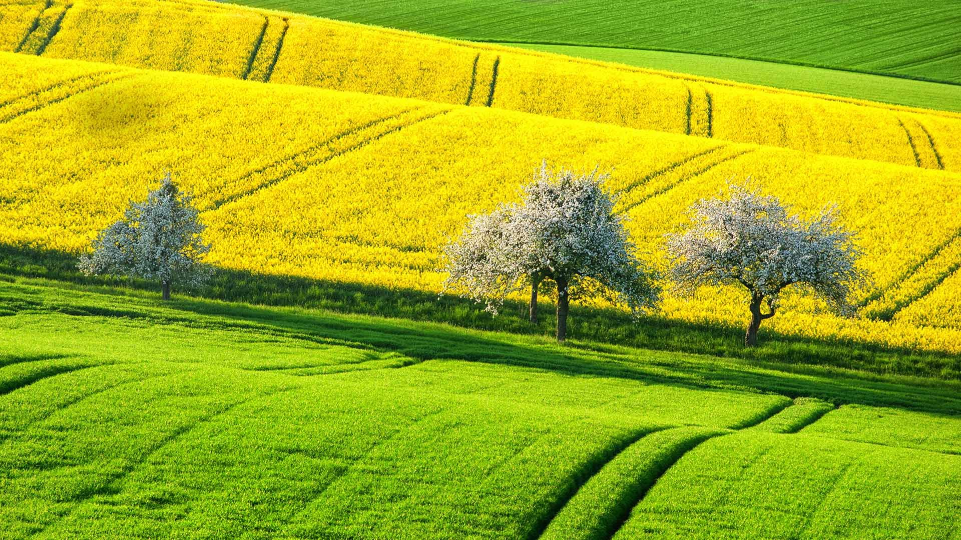Canola Fields In Spring Canola Fields In Spring Germany