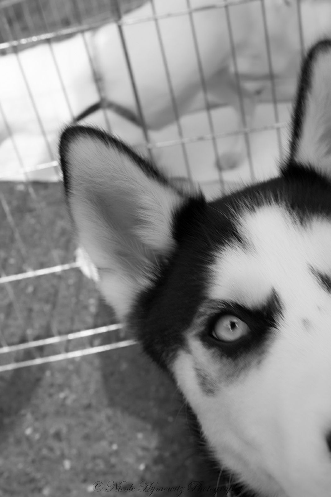 One Photo A Day Husky Adopt One At Your Local Shelter Like Husky House Http Www Huskyhouse Org M Photo A Day Event Photography First Photo