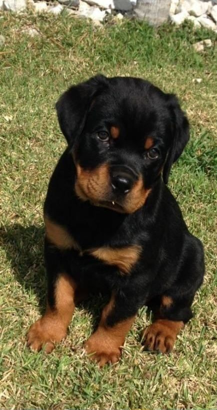 Pin By Victoria Rouse On Doggies In 2020 Dog Breeds Rottweiler