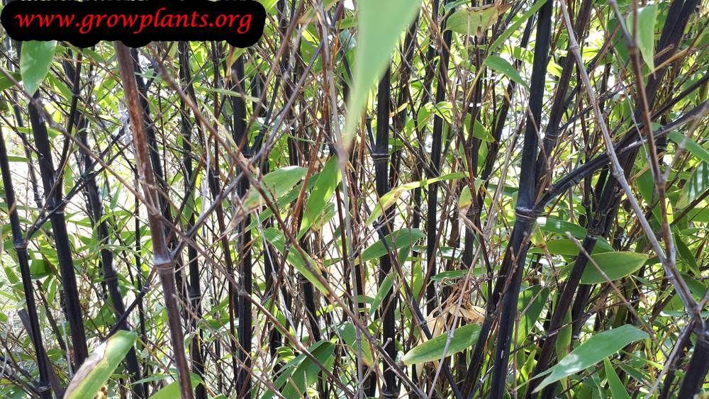 Photo of Black bamboo plant