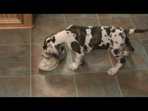 Brindlequin Great Dane Puppies Google Search Dane Puppies