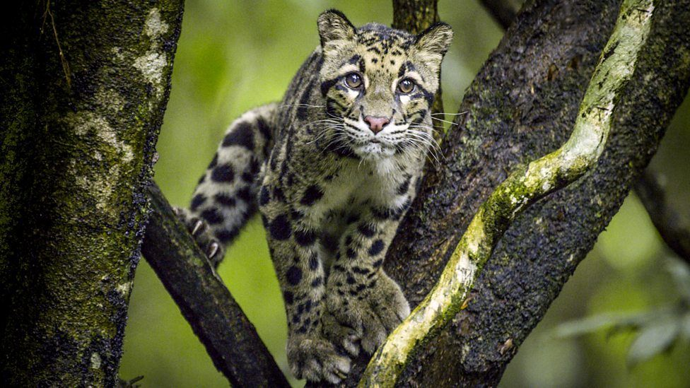 Clouded leopards (Neofelis nebulosa) are one of the most ...