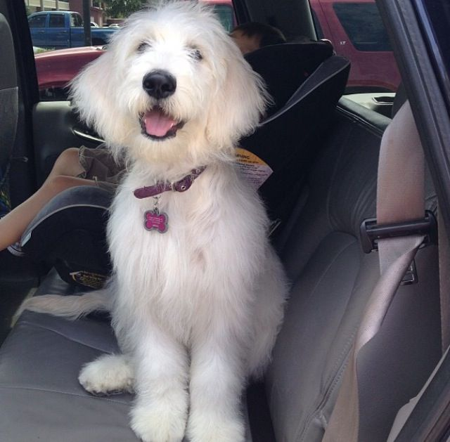 Straight Hair Goldendoodle Dog Haircuts Goldendoodle Puppy