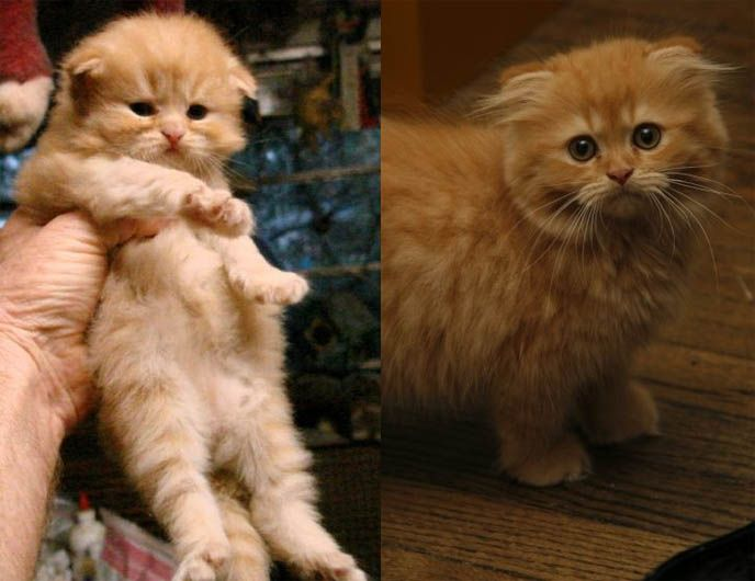 Long Haired Scottish Fold Cat With Bushy Tail I Didn T Even Know There Were Long Haired Scottish Folds Cat Scottish Fold Scottish Fold Cutest Cats Ever