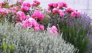 Rosen mit heiligenkraut und lavendel quelle daniel - Rosenbeet ideen ...