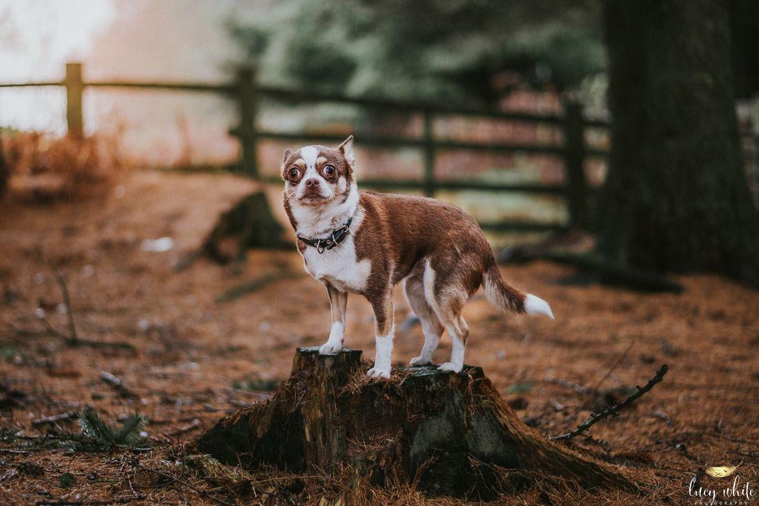 Best Chihuahua Canine Adorable Dog - 834b83682d5ddbffaf05f73129fbed9f  Graphic_584852  .jpg