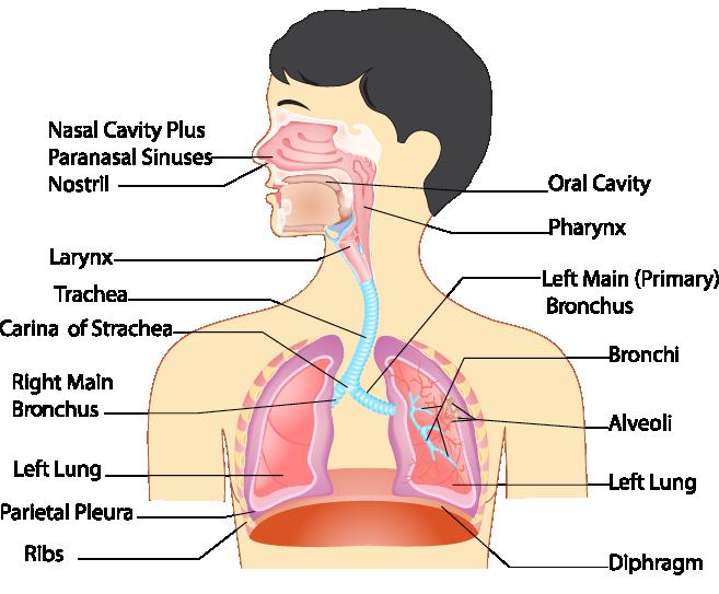 7370.png   Anatomy human body   Pinterest