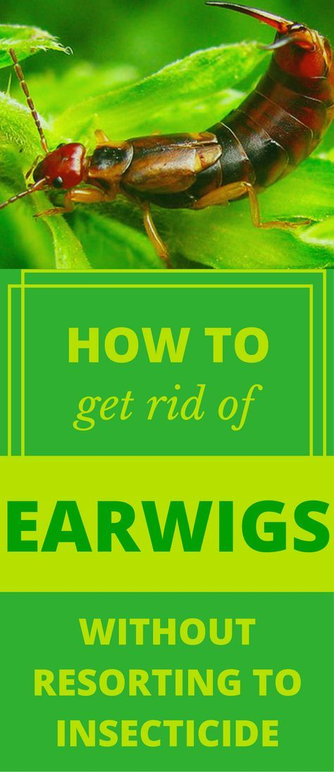 How To Get Rid Of Earwigs Without Resorting To Insecticide | Gardens