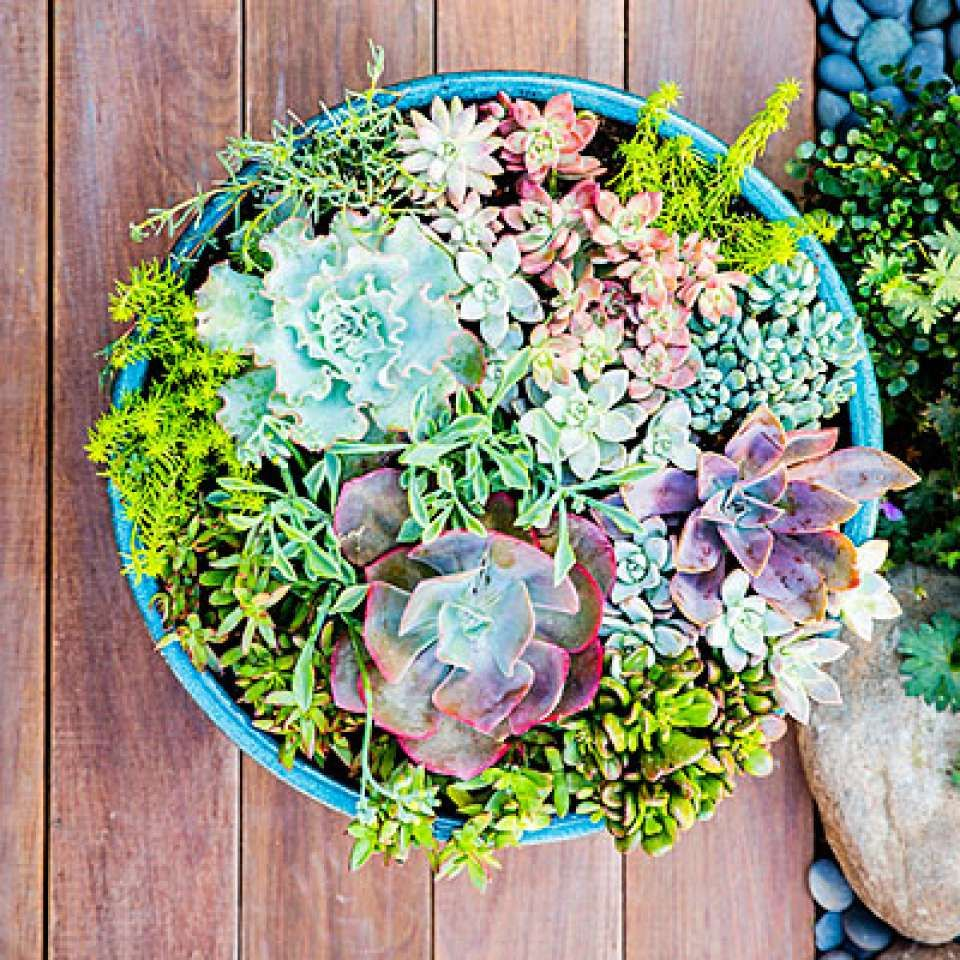 Jewel tones A shallow bowl measuring about 2 feet across and 6 inches deep provides just enough room to show off a rainbow of succulent colors. A mix of bright green Sedum 'Angelina', pink rosette-shaped Ghost plants (Graptopetalum pentandrum), and fleshy green Crassula argenta 'Gollum' pick up the more subtle tones of large grey-green and pink Echeveria.