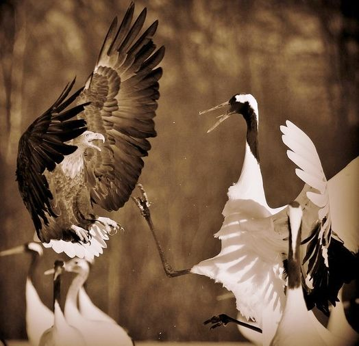 A white tailed eagle and red crowned crane gett'n along!