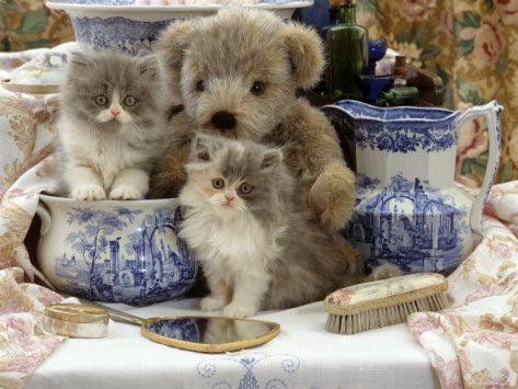 9 Week Blue Bicolour Persian Kitten Brindle Teddy Bear And Victorian Staffordshire Wash Stand Set Photographic Print Jane Burton Allposters Com Persian Kittens Kittens Brindle