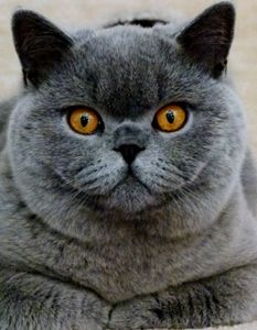 Www Majaempfiehlt De British Shorthair Cats British Blue Cat Cat Breeder