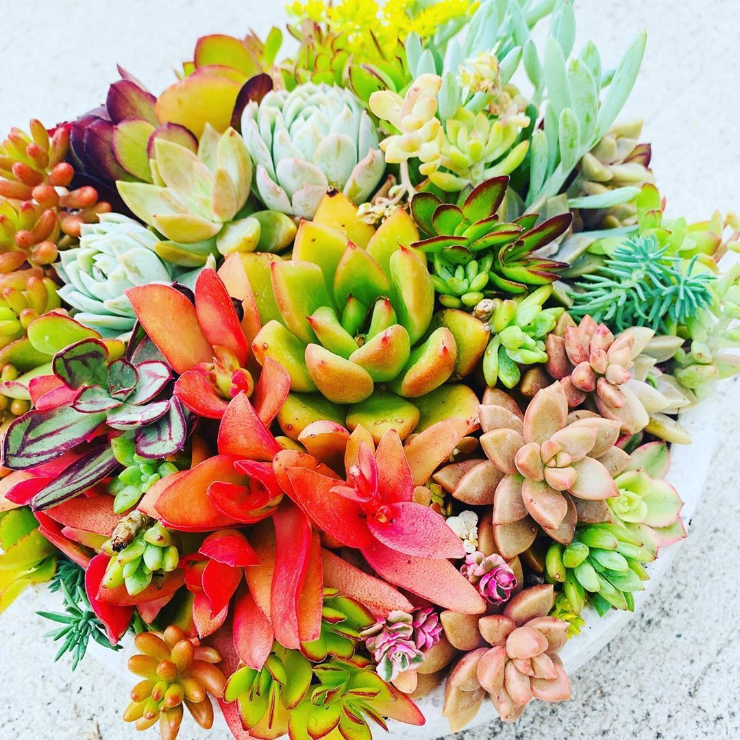White Wok Style Succulent Bowl Full Of Colour Hashtags Succulents Succulent Succulentgarden Sunshinesucculents S Succulents Succulent Bowls Summer Plants