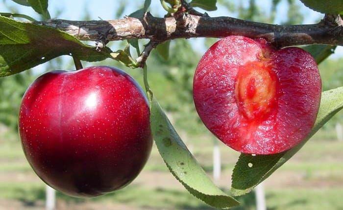 Manfaat Buah Apel Pear