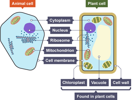 animal and plant cells How to build 3d models of animal and plant cells every student in a junior high or high school science class has had to learn about the structures of living cells at some time or another.