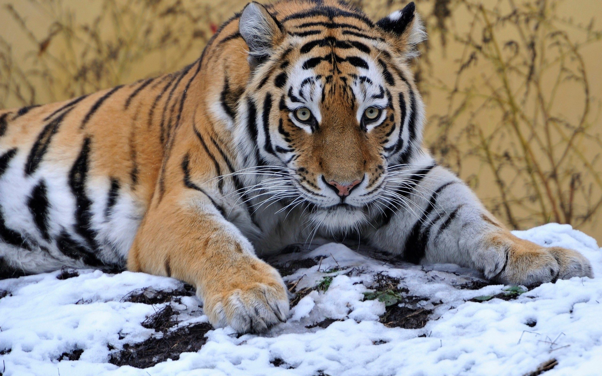 Beautiful Wallpaper High Resolution Tiger - 834ece261c95cc7f152fbf22c7152657  HD_346528.jpg