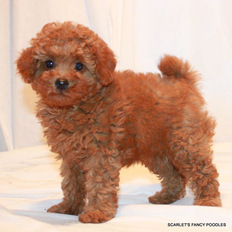 This Little Girl Will Be About 10 Lbs Fully Grown Red Teddy Bear