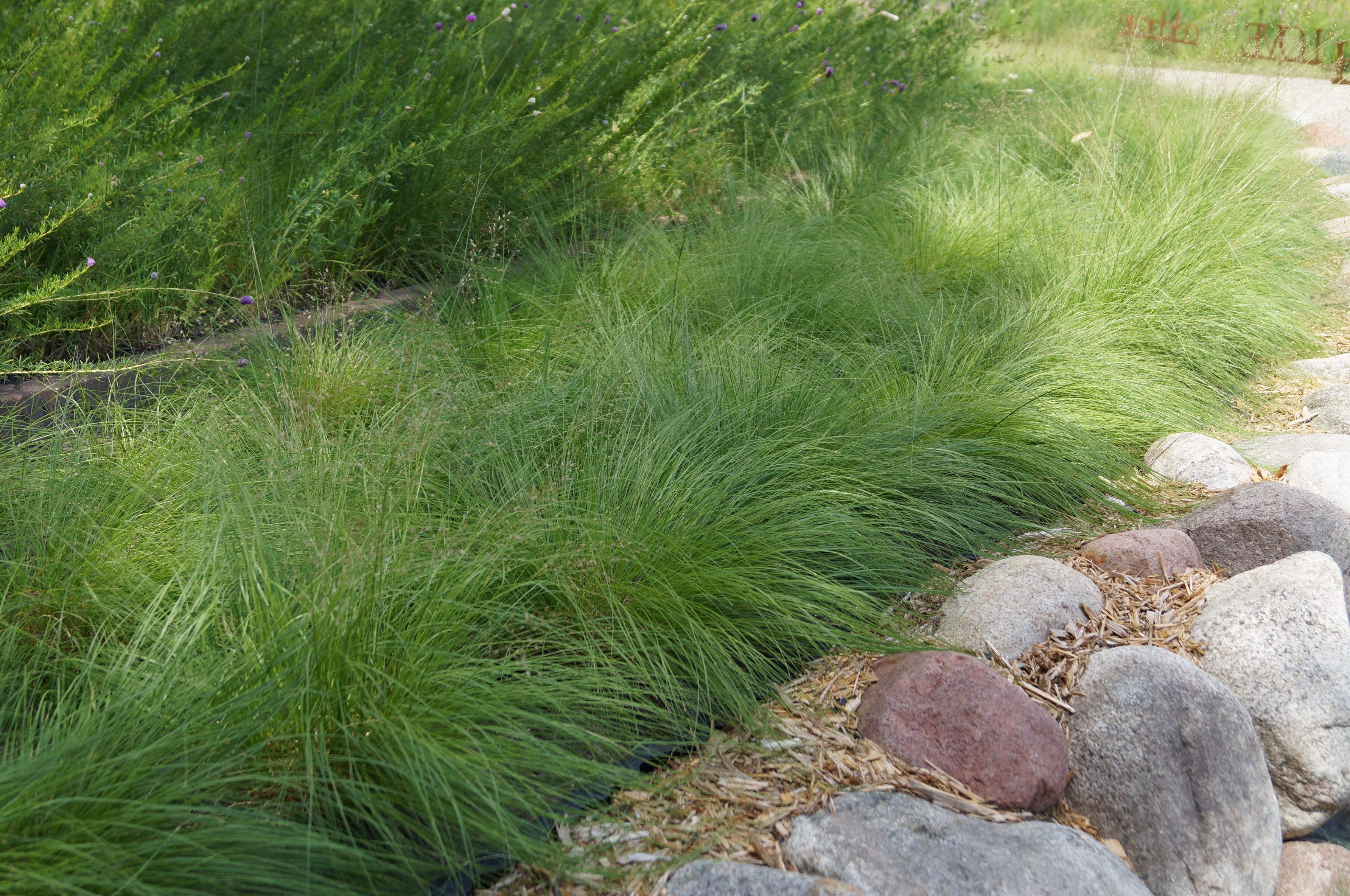Buy blue dune lyme grass in nw arkansas - 17 Best Images About Grass On Pinterest Gardens Ophiopogon Japonicus And Perennial Grasses