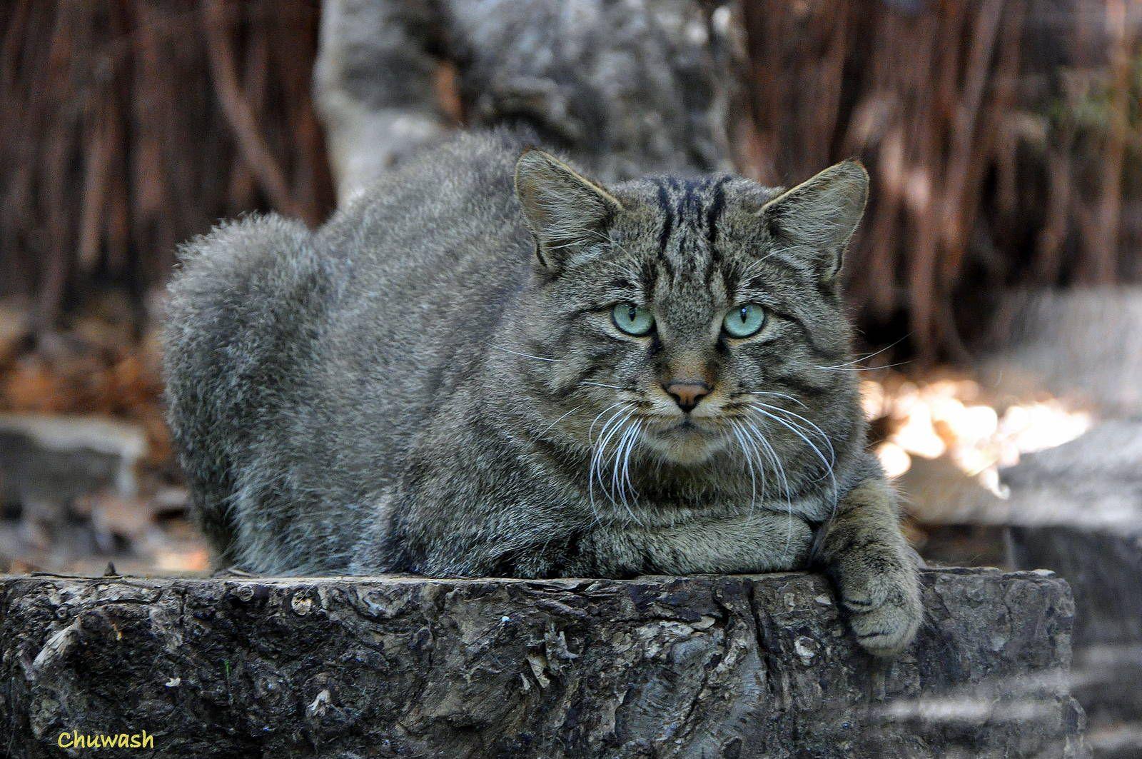 felis silvestris silvestris - Google Search   Wild Cats