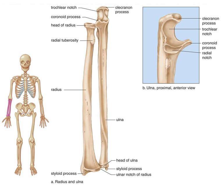 Schön Radialknochen Fotos - Menschliche Anatomie Bilder ...