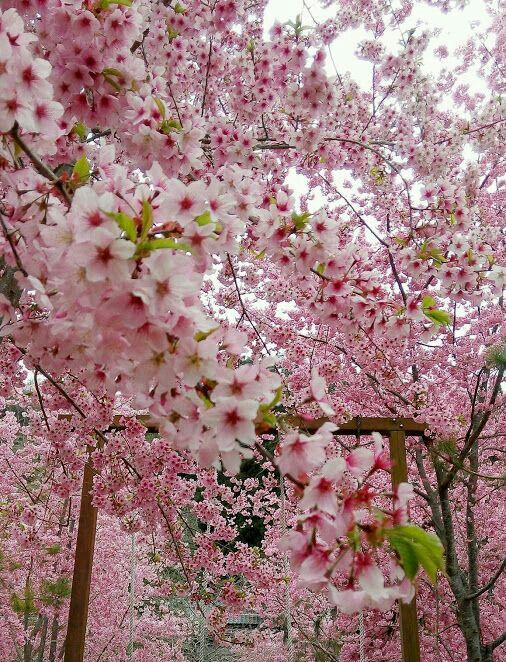 Pin By Kitty Keeline On Cherry Blossoms Blossom Trees Cherry Blossom Wallpaper Cherry Blossom Japan