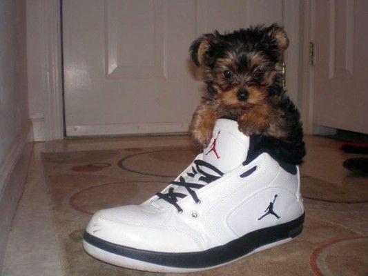 Cutegreggator Puppies Inside Shoes Cute Animals Puppies