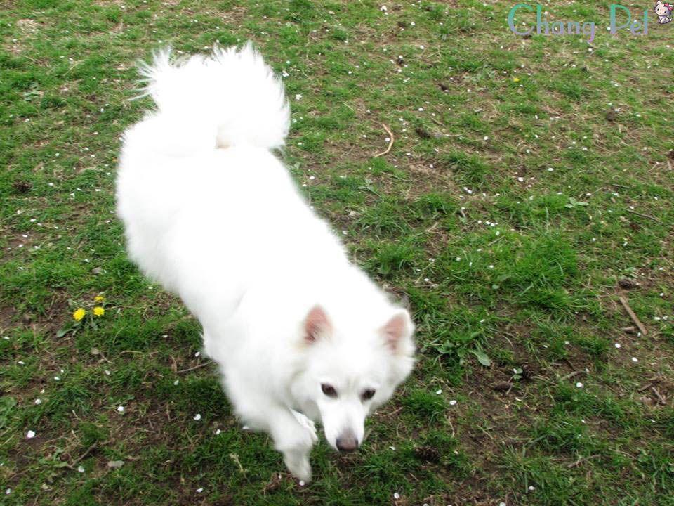 american eskimo puppies, american eskimo dogs, american