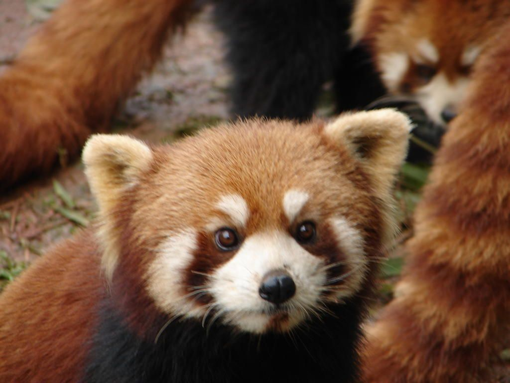 Buskin' the World: Red Panda  or is it a Chinese raccoon