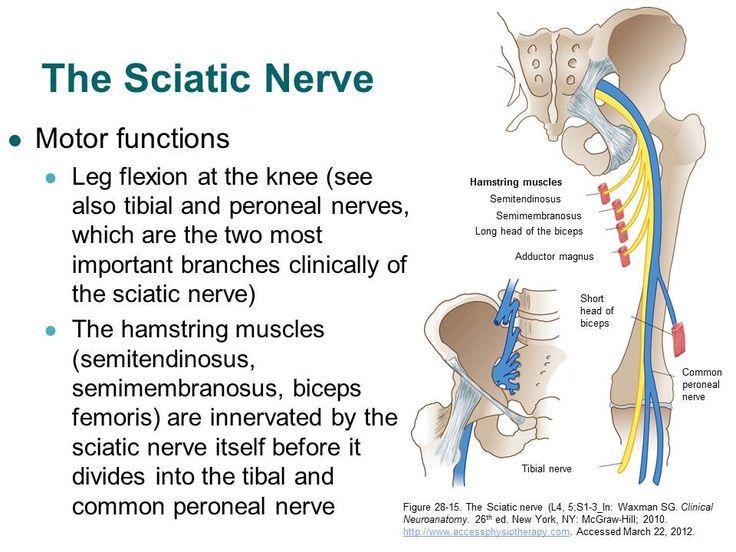 Sciatica Symptoms & Chiropractic Treatment   Pinterest   Anatomy ...