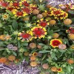 Arizona Sun Blanket Flower Plant