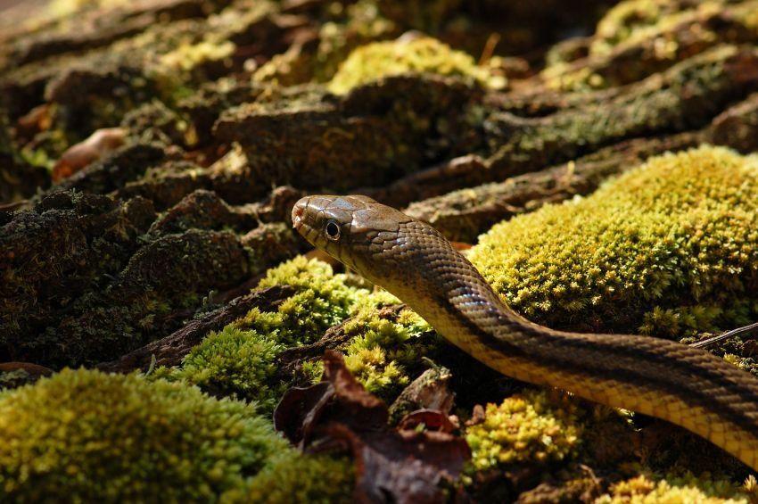 Pictures To Identify Garden Snake Types Garden Snakes Rat Snake