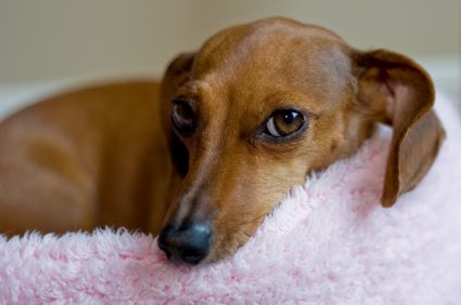 10 Easy Ways To Pamper Your Pup Dog Breeds Dachshund Dog Small