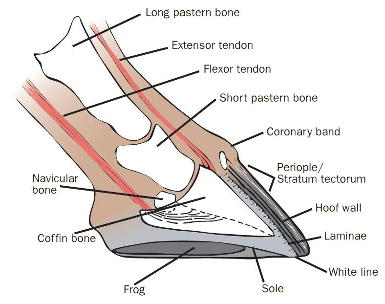 horse hoof anatomy | Horse- Need To Know | Pinterest | Horse and ...
