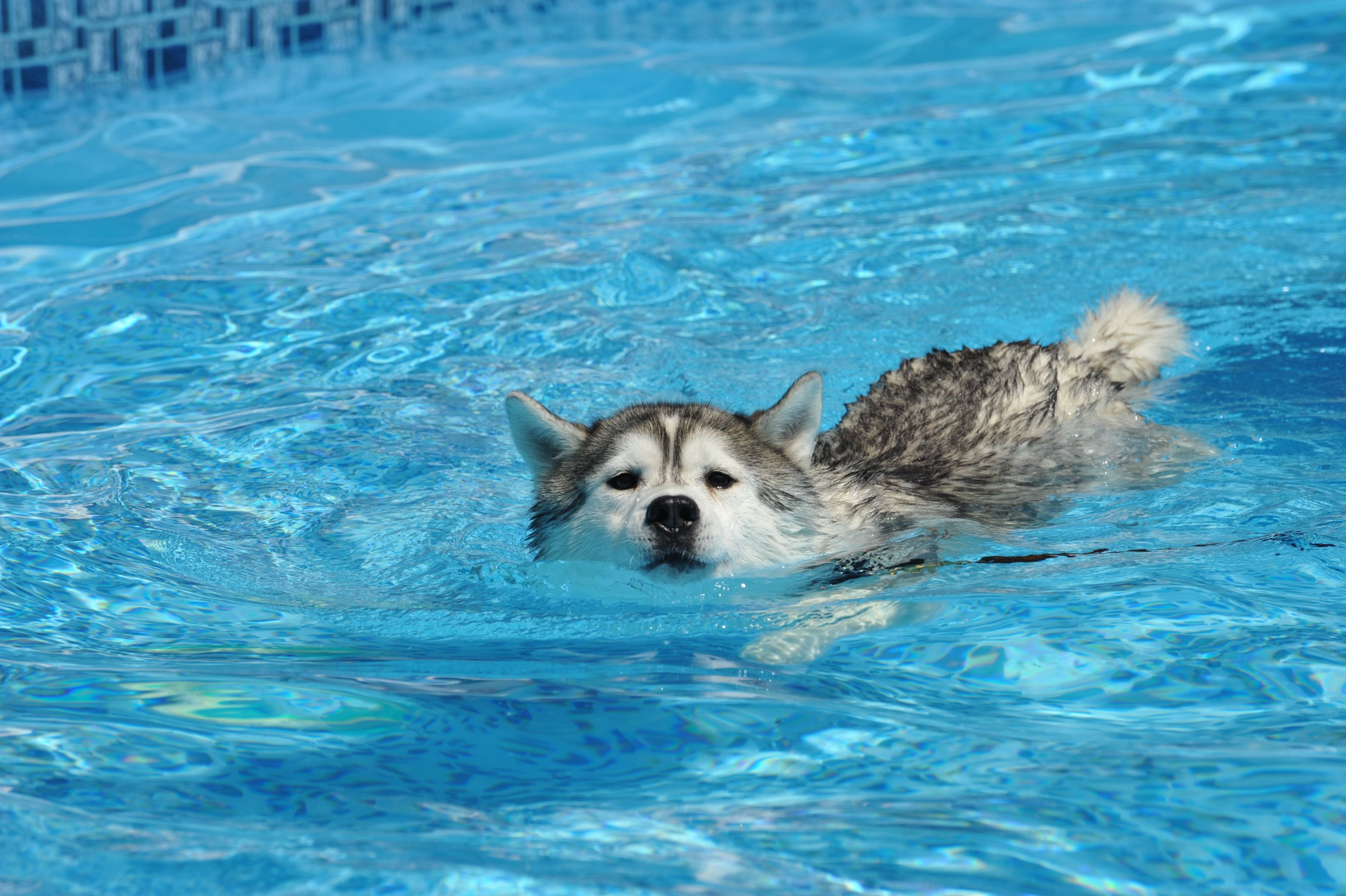 Siberian Husky Swimming | Quotes, Funnies & Everything ... Bradley Cooper S Baby