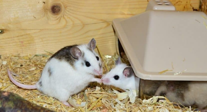 Pin On Pet Mice Images
