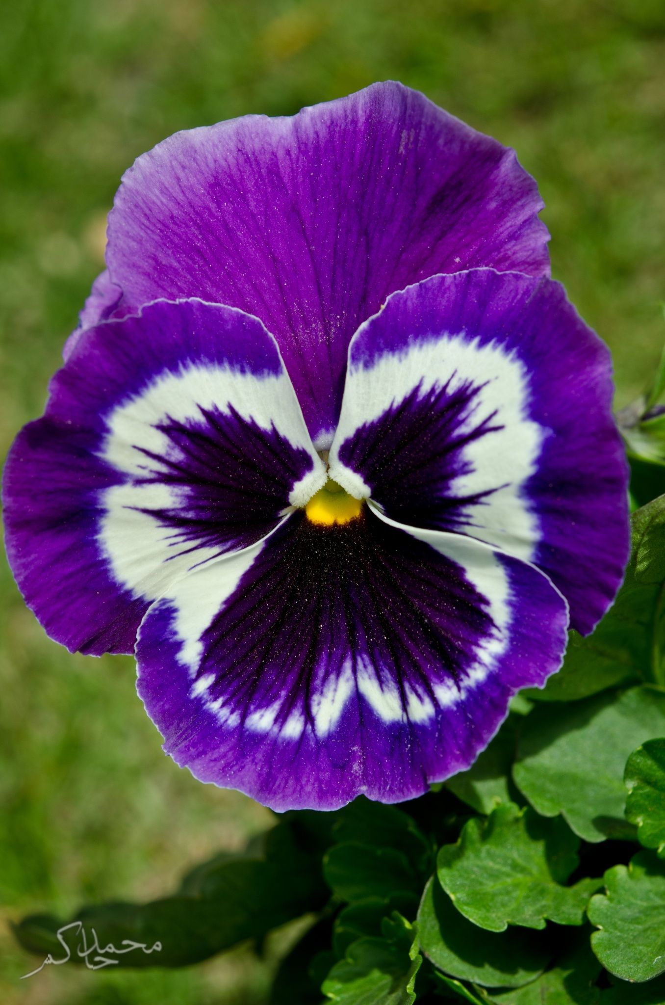 The Face Flower Pansies Flowers Beautiful Flowers Wonderful Flowers