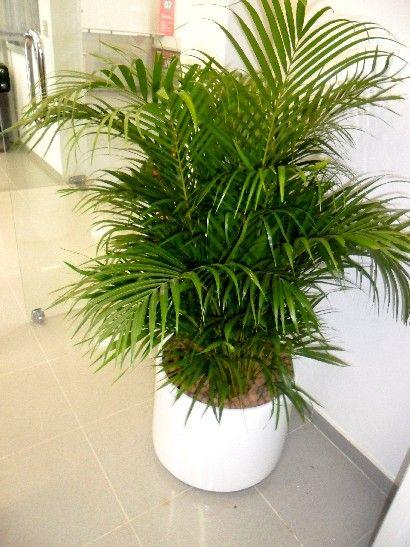 Palmeira Areca Bambu Com Imagens Palmeira Areca Jardim
