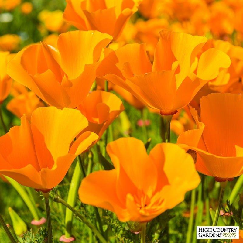 California Poppy Seeds Eschscholzia California Poppy