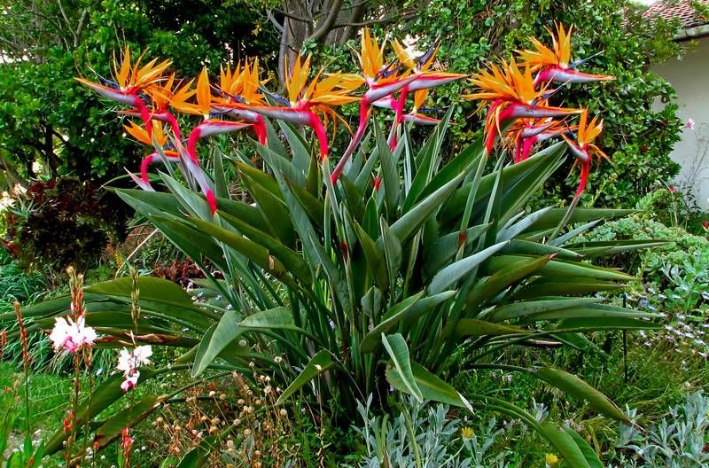 Bird Of Paradise Flower Exoticflowers Tropical Garden Plants Paradise Plant