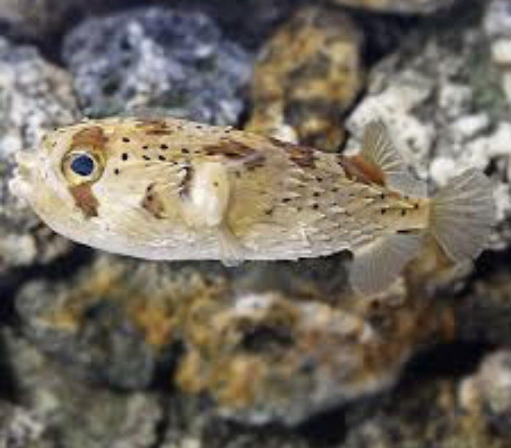 Live 2 Inch 3 Inch Porcupine Puffer Fish Puffer Fish Fish Saltwater Aquarium Fish